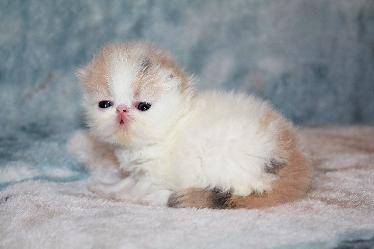 Alfenloch Heavenly Days Dilute Calico Persian Female Kitten Persainkittens Cute Cats And Dogs Persian Kittens Cutest Kittens Ever