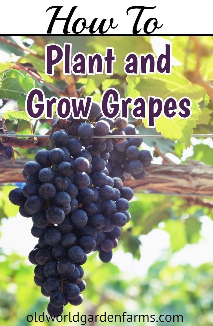How To Easily Plant And Grow Grapes In Your Backyard ...