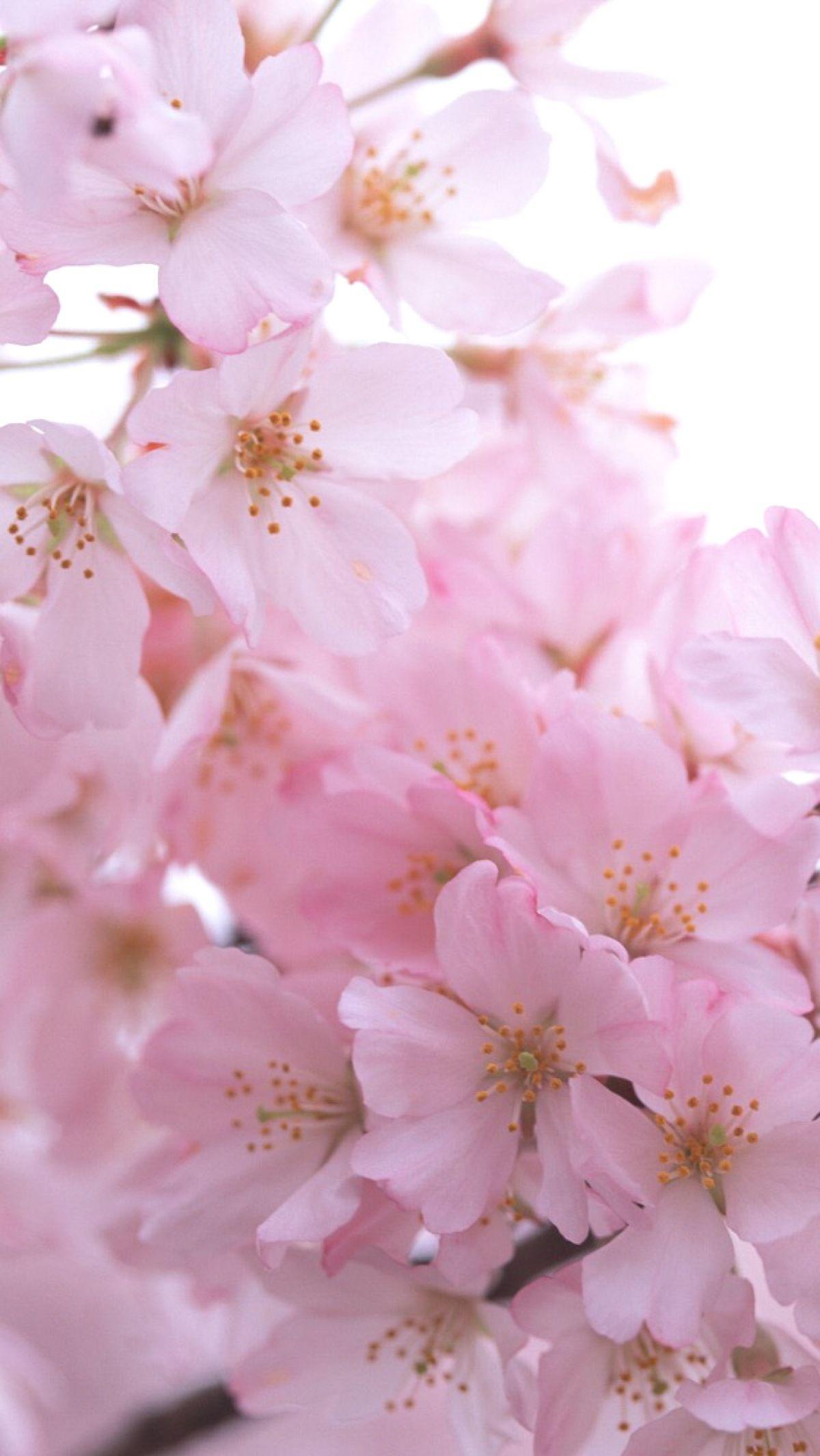 038 Flowers Pink Blossoms Pinterest Iphone Wallpaper Iphone