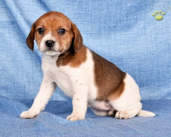Coco Beagle Mix Puppy For Sale In Dundee Oh Buckeye Puppies