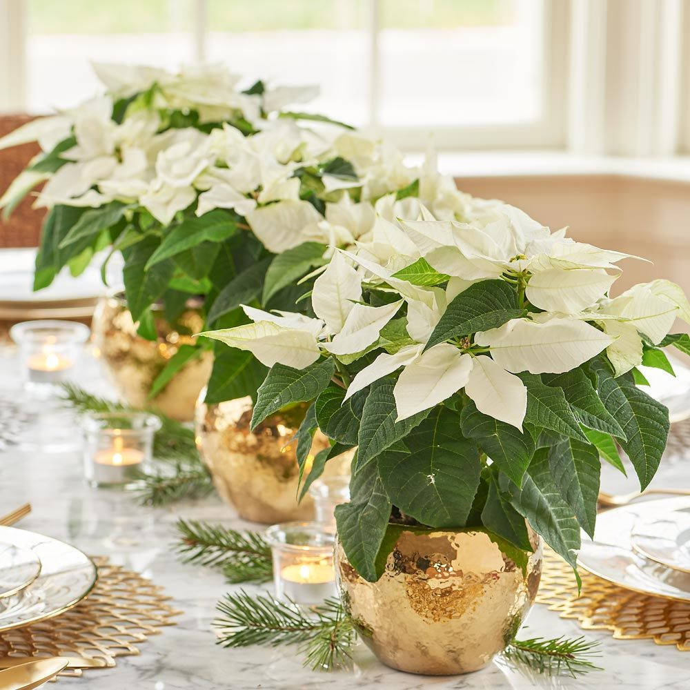 Poinsettia Princettia Pure White Trio In Ceramic Cachepots Holiday Table Decorations Plant Centerpieces Poinsettia Decor