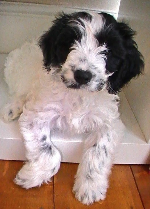 Black And White Parti Cockapoo Puppy With Ticking -1631