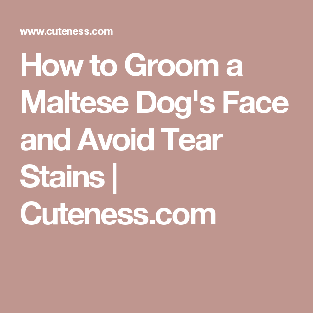 How to Groom a Maltese Dog's Face and Avoid Tear Stains | Cuteness.com