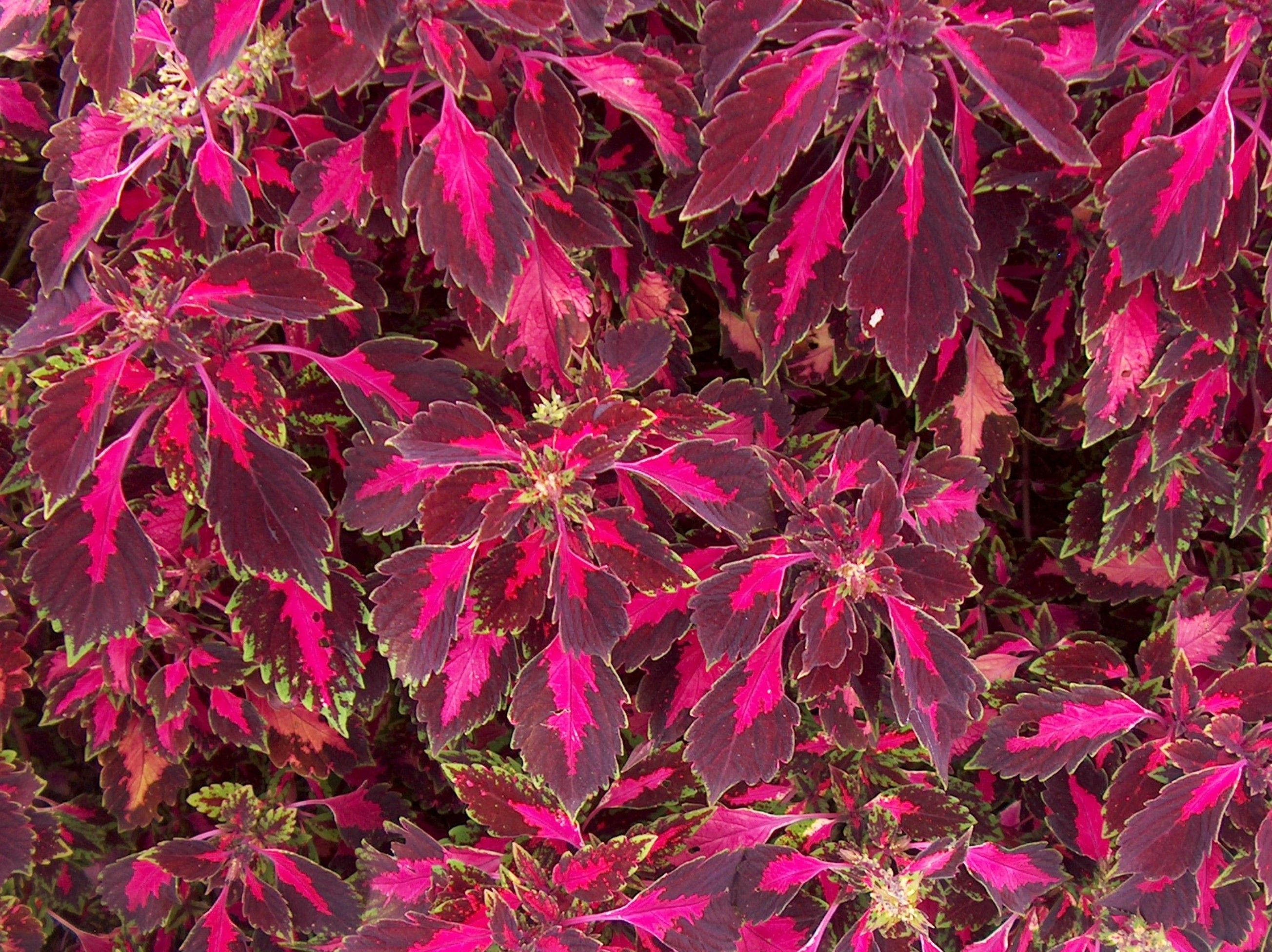 Solenostemon scutellarioides 'Pink Chaos'/Pink Chaos