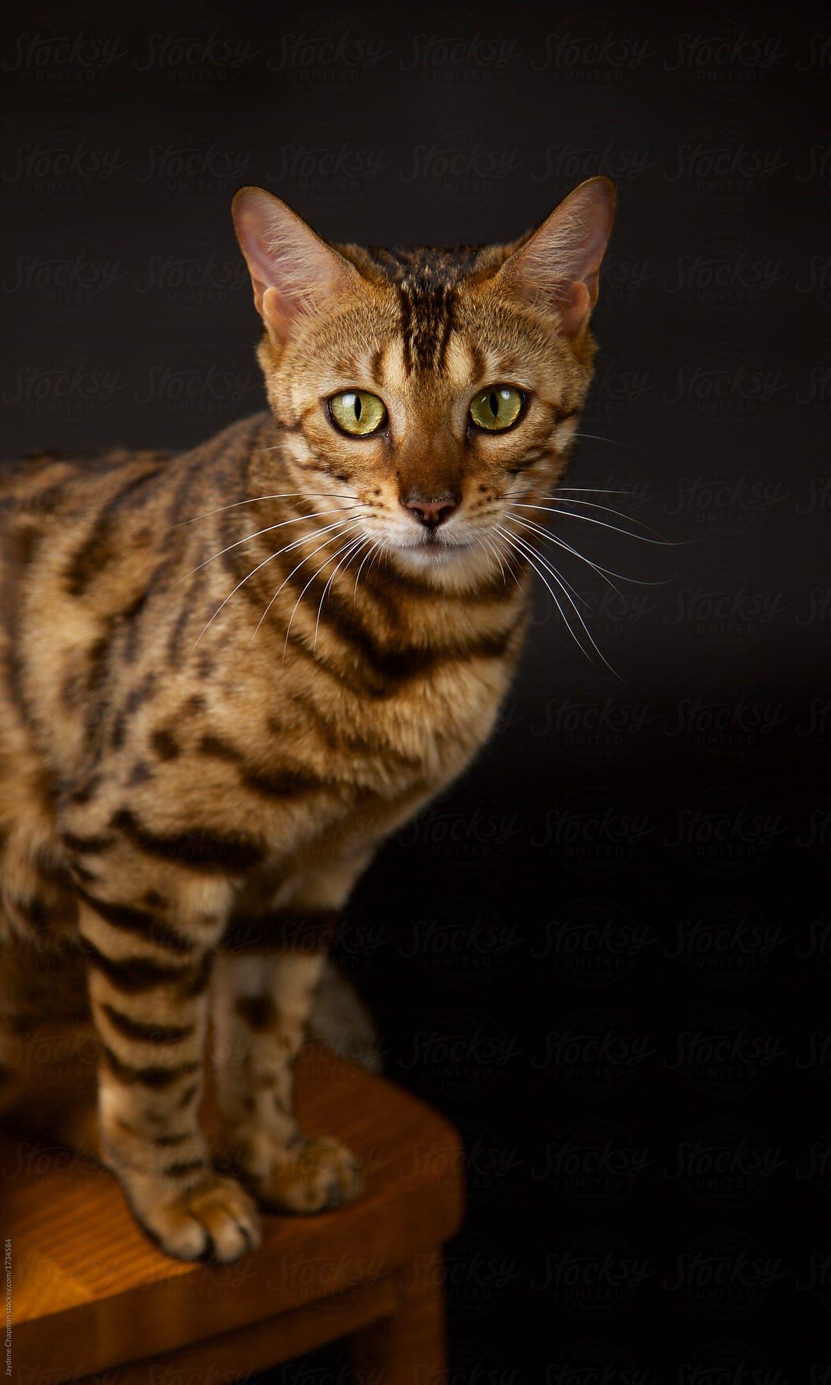 bengal cat bengal cat kitten bengal cat facts bengal