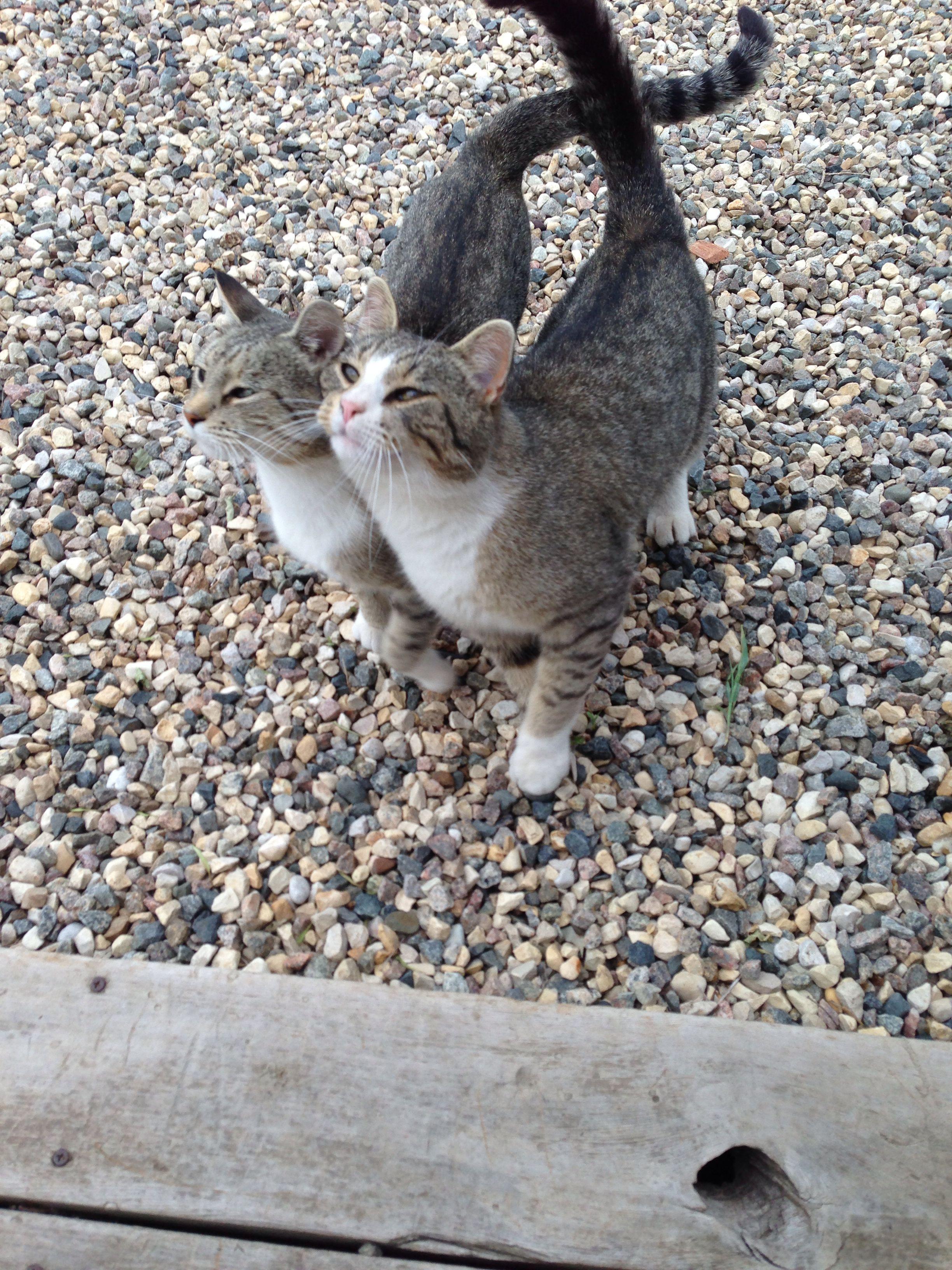.sweet kitty love. Jellicle cats, Cute animals
