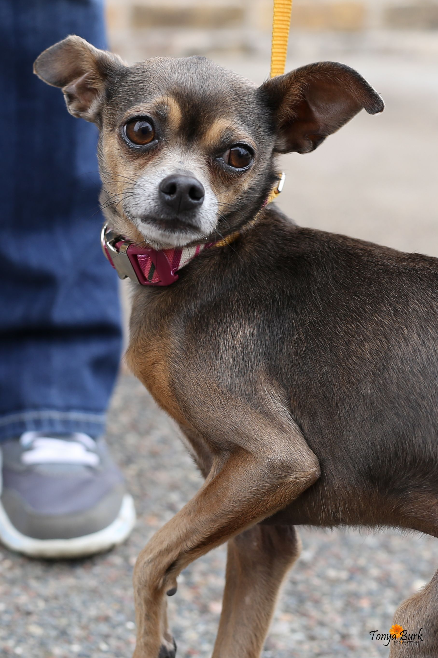 Chipin dog for Adoption in Princeton, MN. ADN510341 on