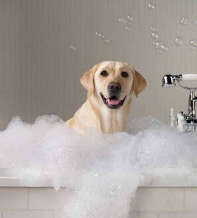 Labrador Retriever Bathtime Yellow Labradors And More
