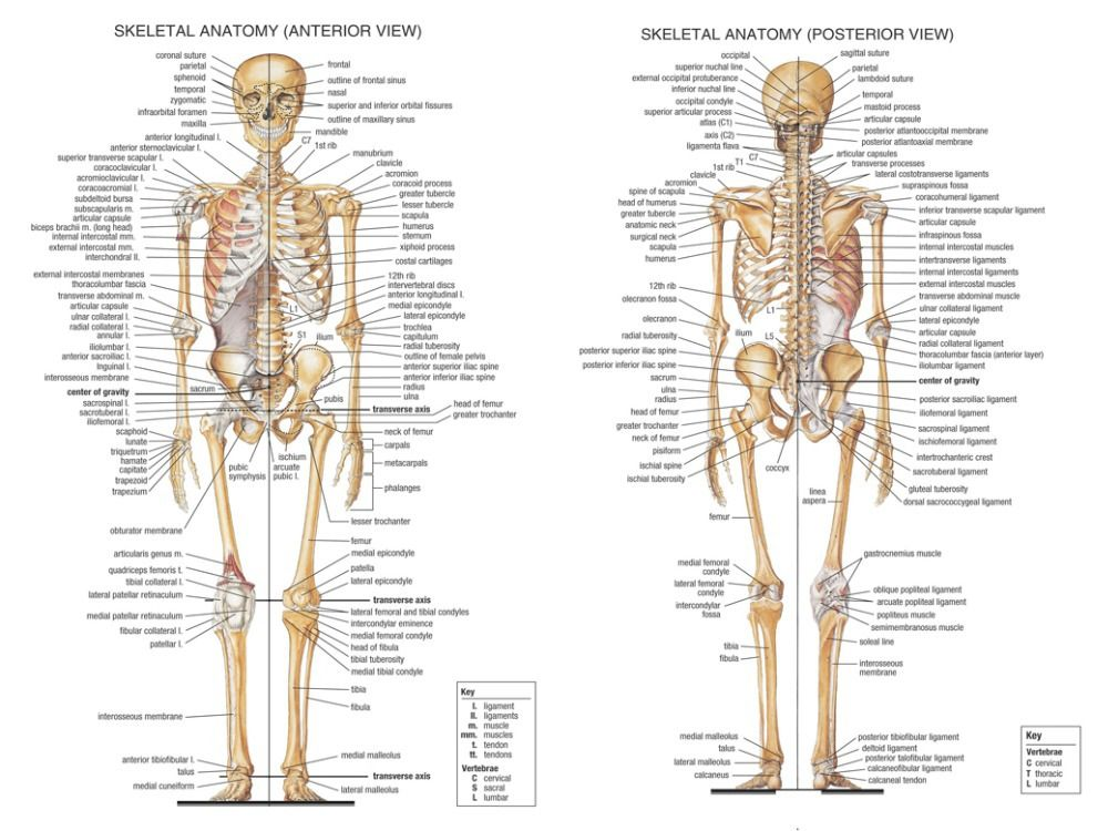 Acquista allingrosso online sistema muscolare del corpo da rose jack 02 skeletal system anatomical chart art poster home wall decor fandeluxe Image collections