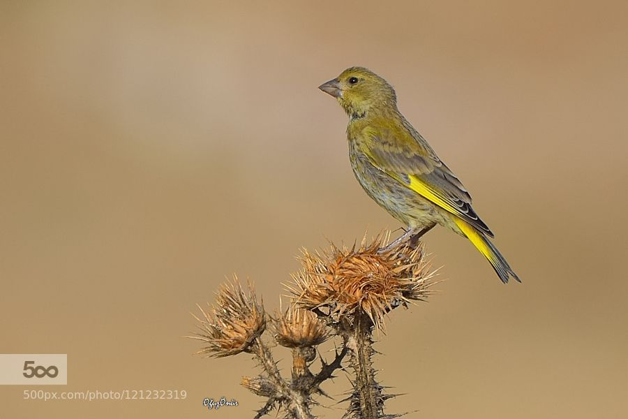 Greenfinch by _oz_. Please Like http://fb.me/go4photos and Follow @go4fotos Thank You. :-)