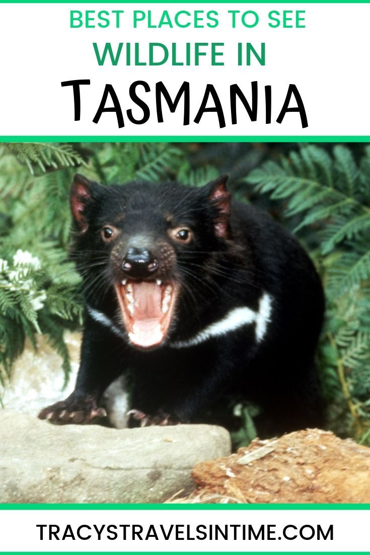 Tasmania animal guide (including where to find them
