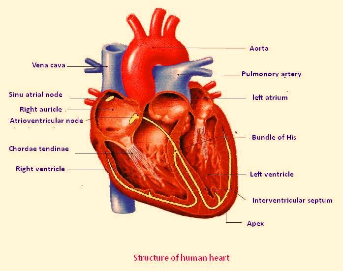 Human Heart Labeled Diagram Anatomy Heart Diagram Printable