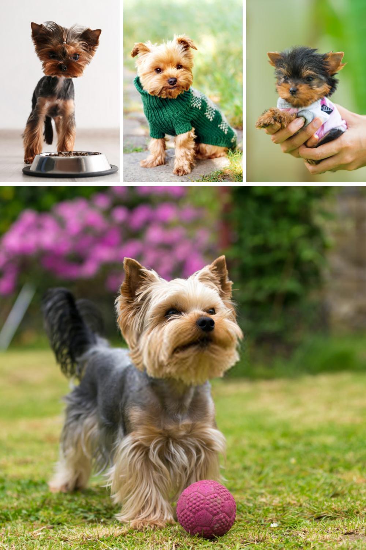 Terrier Puppies Yorkshire Terriers In 2020 Yorkshire Terrier Dog Yorkshire Terrier Puppies Yorkshire Terrier