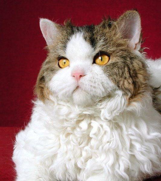 midget cat for sale