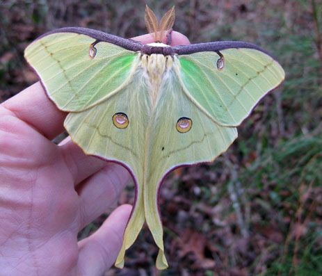 Luna Moth I Found One Of These On The Threshold Of My Front Door A Couple Weeks Ago Just Hanging Out Was There For A Especies De Mariposas Polilla Mariposas