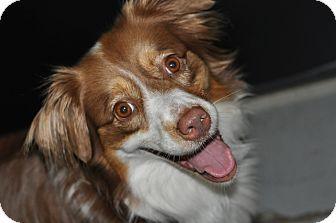 Colorado Springs, CO Australian Shepherd Mix. Meet Missy