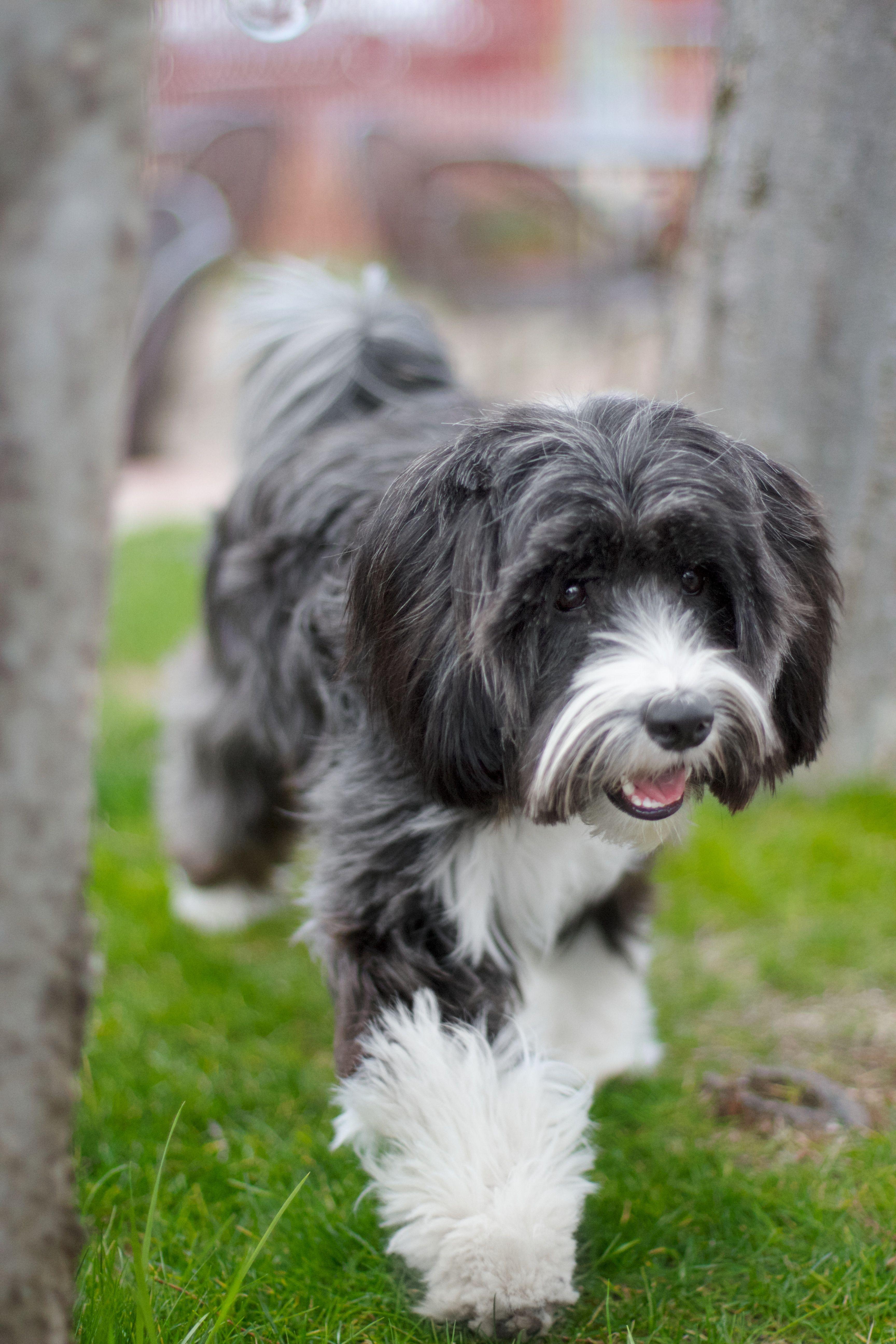 Pin On Tibetan Terrier