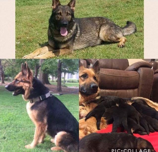 German Shepherd Dog Puppy For Sale In Senoia Ga Adn 28283 On
