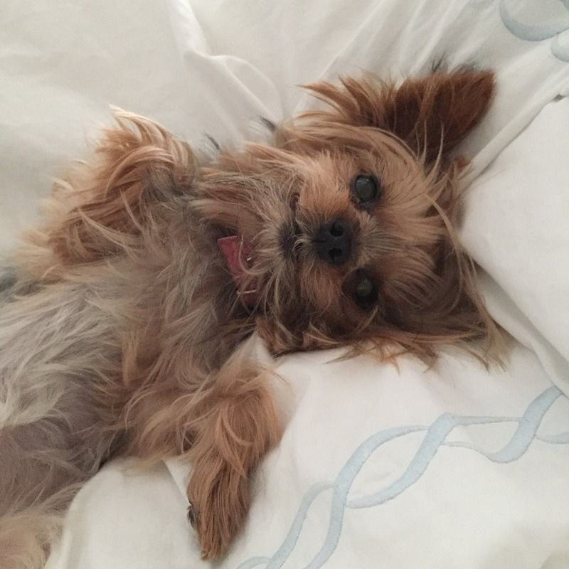 5 Cute Small Hypoallergenic Dogs That Don T Shed Dogvills Teacup Yorkie Hypoallergenic Dog Breed Yorkie