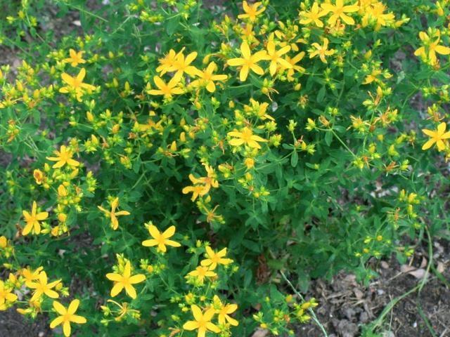 Dziurawiec Zwyczajny Uprawa Dziurawca W Ogrodzie Wlasciwosci I Zastosowanie Dziurawca Herbs Plants Herbs Spices