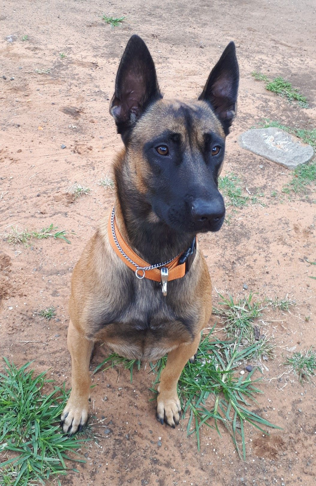 Pin by LJ on BLAZE MY MALINOIS Cop dog, Belgian shepherd