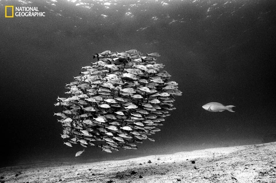 The lone Parrot fish.