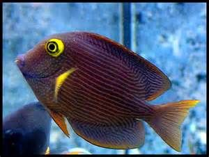 Kole Tang Fish Saltwater Fish Tanks Tang Fish Big Fish Tanks