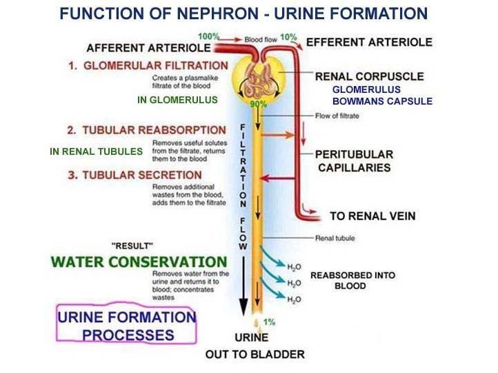 Symptoms Of Kidney Problems Medicinescience Pinterest Anatomy