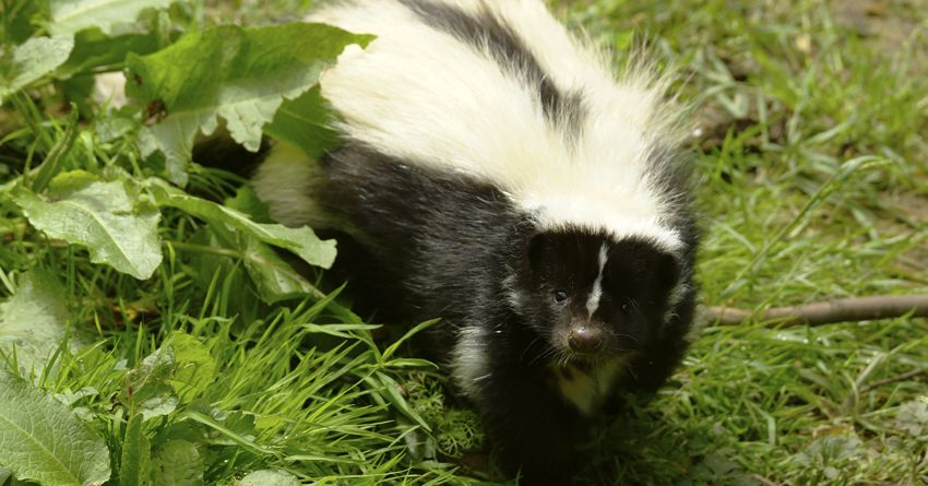 Dogs Cats And Skunks 6 Steps To De Skunking Your Pet The Honest Kitchen Blog Skunk Your Pet Pets