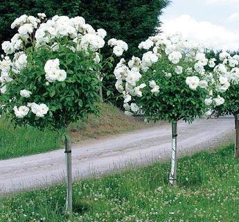 White Garden Rose Bush margaret merril rose standard | garden | pinterest | gardens, rose