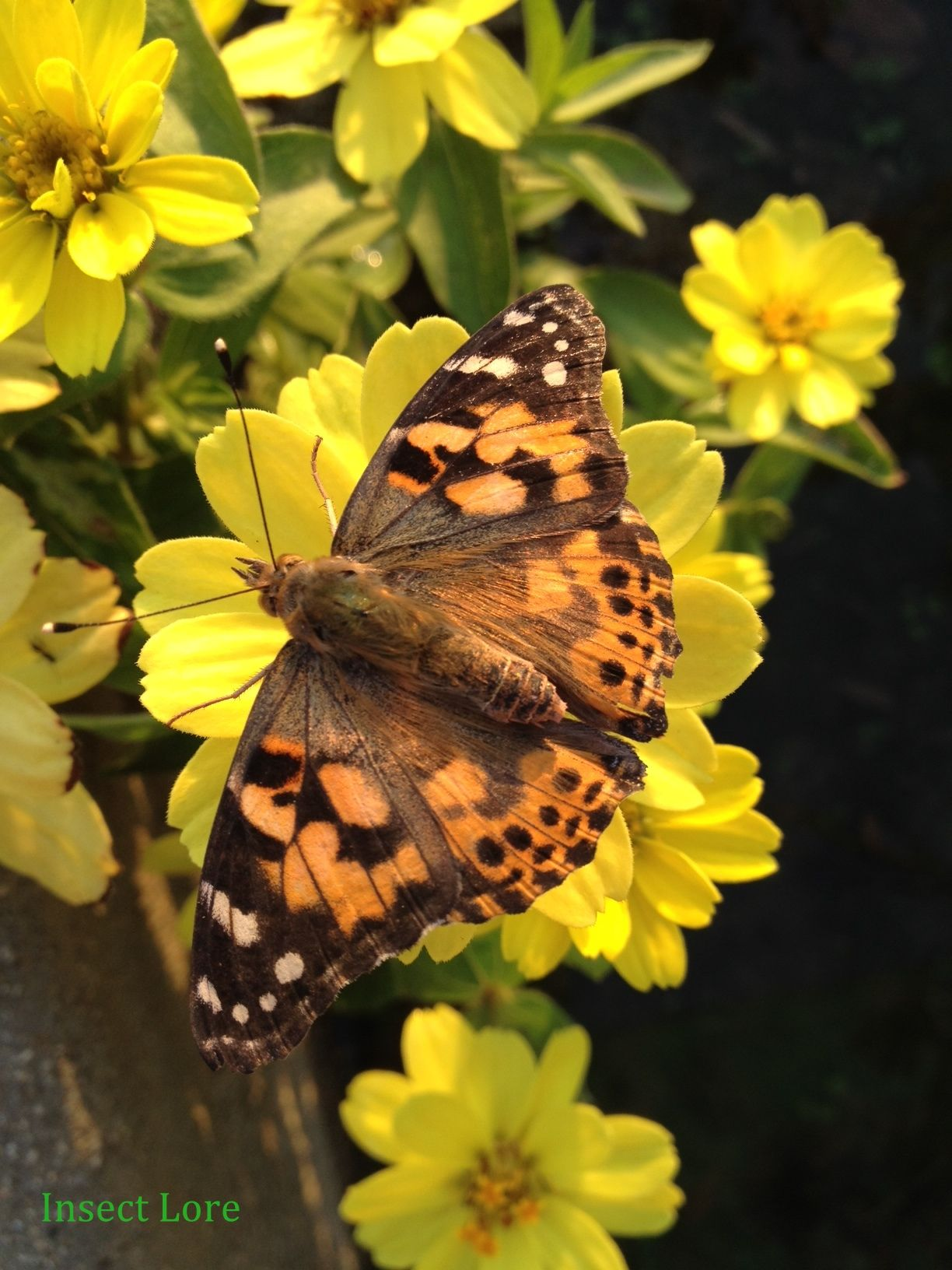 Q How Long Is The Painted Lady Butterfly Life Cycle
