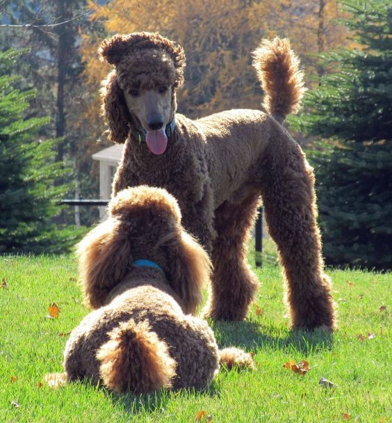 Clifford and his litter sister Roux Poodles enjoy their own