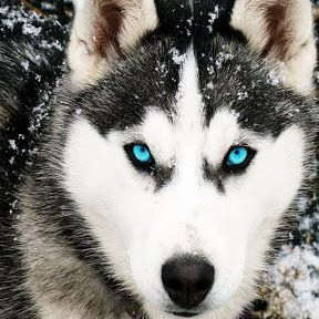 Amazing Siberian Husky: Amazing and Smart Siberian Husky Dog