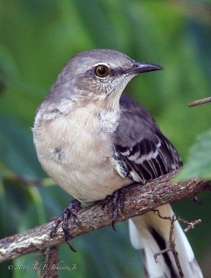 Mockingbird in Port Orange, Florida. Photo by Ted E