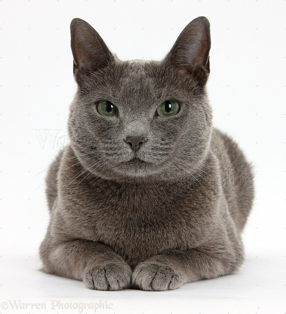 Russian Blue female cat with green eyes white background