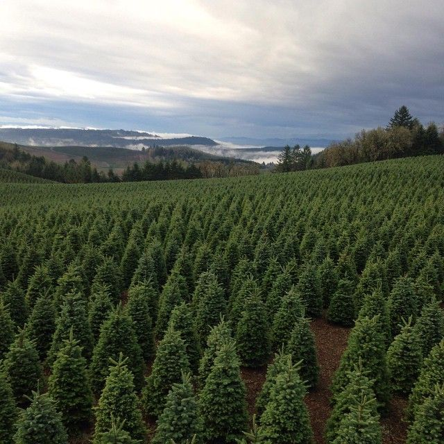 The 10 Best Christmas Tree Farms in Oregon! | Cool ...