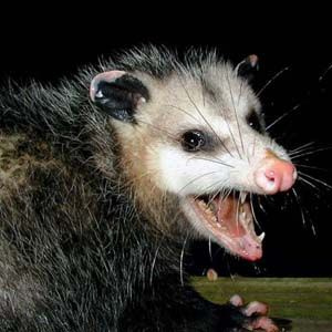 Animal With A Prehensile Snout | Possums / Opossums Require Live Trapping  And Removal In Houston