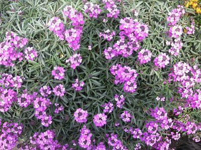 Lista de nombres de algunas flores perennes hermosas - Lista nombre arbustos ...