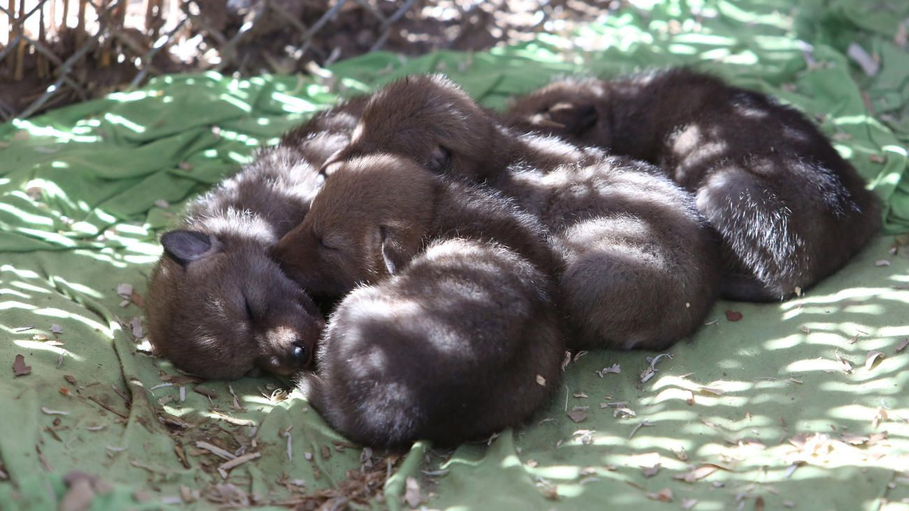 Four coyote pups after their mama was shot and then saved by rescue group.