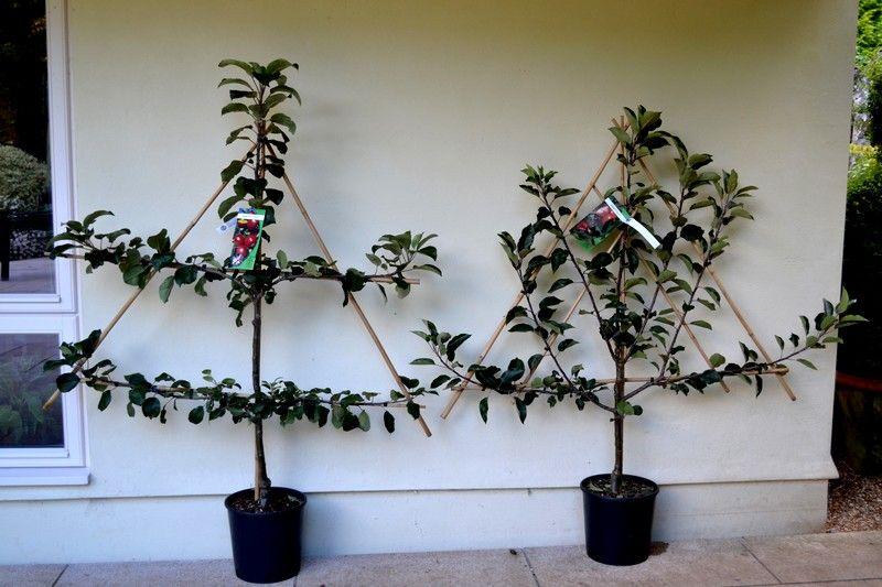 forme du tuteur pour les pommiers en espalier jardin pinterest jardins et paysages. Black Bedroom Furniture Sets. Home Design Ideas