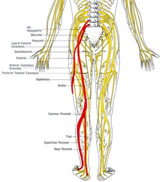 The Sciatic Nerve- that bastard had me walking with a cane ... Sciatic Nerve Branches