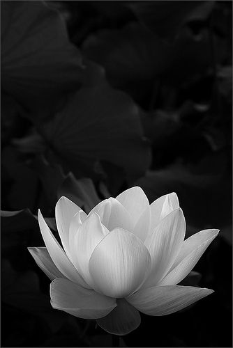 Bw Yoga Inspiration White Lotus Flower White Lotus Tattoo