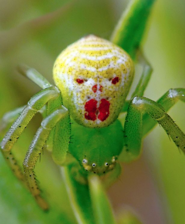 happy face spider  # 36