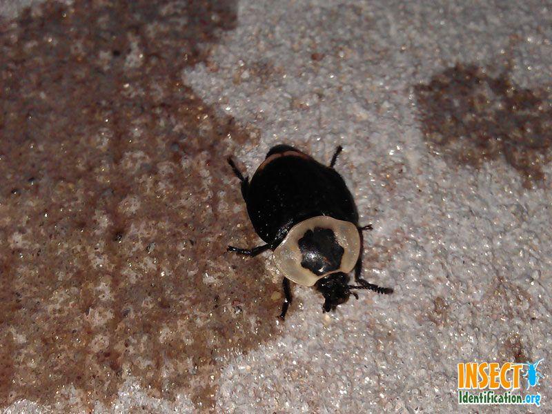 American Carrion Beetle Beetle American Creatures