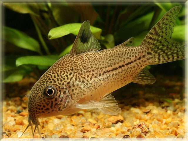 Freshwater Fish List Beginning With F Aquarium Poisson Elevage De Poissons Poisson Exotique