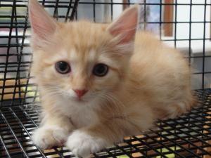 Adopt Jar Jar Binks On Petfinder Kitten Adoption Long Haired Cats Cats