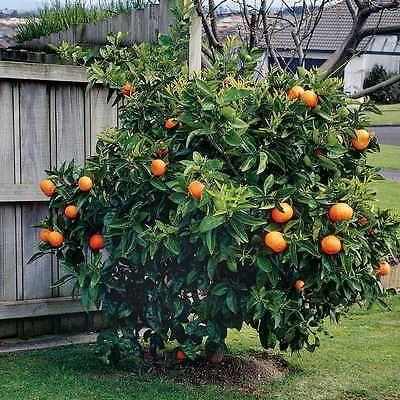 Home Bonsai Citrus Orange Tree Seeds 20 Edible Orange Fruit Tree Fresh Seeds