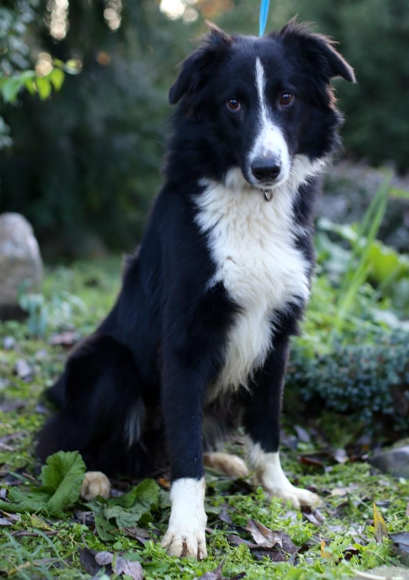 Adopt Pop Pop On Real Dog Border Collie Collie