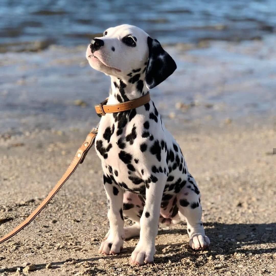 14 Amazing Things About Dalmatians Petpress Dalmatian Puppy Pretty Dogs Baby Dogs