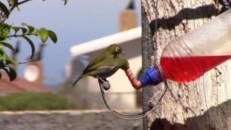 6 Jenis Makanan Dan Minuman Terbaik Untuk Pleci Biar Cepat Gacor Ngalas Wikicau Burung Bulu Makanan Burung